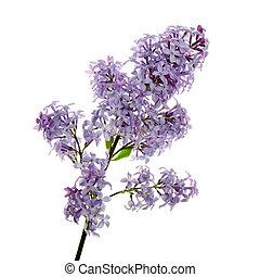 hermoso, primer plano, flores, lila
