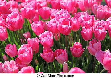 hermoso, ramo, de, rosa, tulipanes, campo