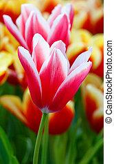 hermoso, red-white, tulipanes, (closeup)