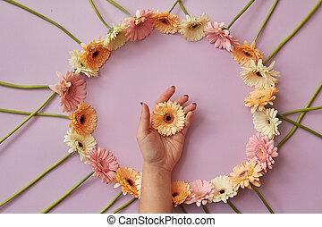hermoso, redondo, marco, de, gerbera, flores, en, un, rosa, fondo.