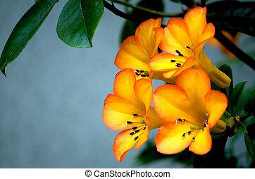 hermoso, rododendro