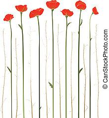 hermoso, rojo, Ilustración, Amapolas