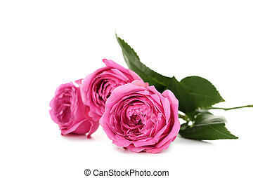 hermoso, rosa, blanco, aislado, rosas