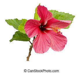 hermoso, rosa, hibisco, flor