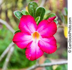 hermoso, rosa, obesum), adenium, tropical, flo, (adenium, ...