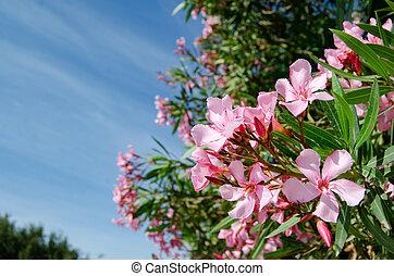 hermoso, rosa, oliander, blosom, celeste, flores