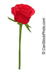 hermoso, rosa roja, con, tallo largo, aislado, en, white.