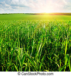 hermoso, salida del sol, en, un, campo de trigo