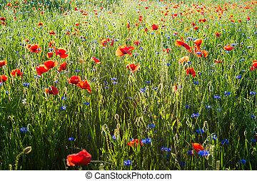 hermoso, salvaje, fondo., campo, rhoeas), amapolas, floral,...