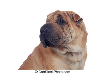 hermoso, shar, casta, pei, perro