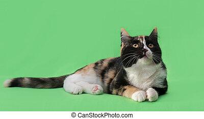 hermoso, three-colored, fondo verde, gato