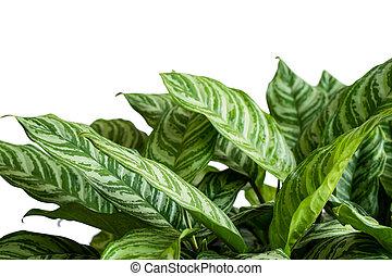 hermoso, tropical, hojas, aglaonema, atractivo