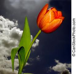 hermoso, tulipán