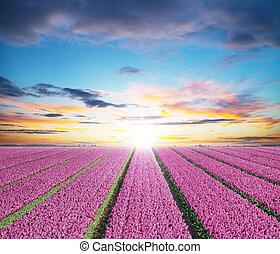 hermoso, tulipanes, campo, en, el, países bajos