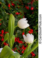 hermoso, tulipanes, campo, en, tiempo del resorte