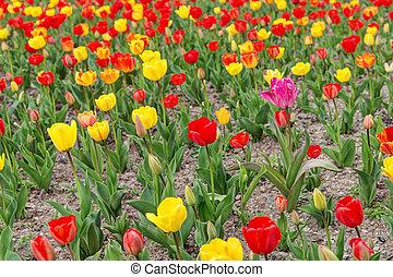 hermoso, tulipanes, en, el, primavera