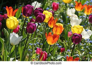hermoso, tulipanes