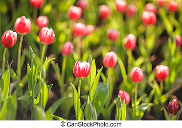hermoso, tulipanes, jardín, colorido