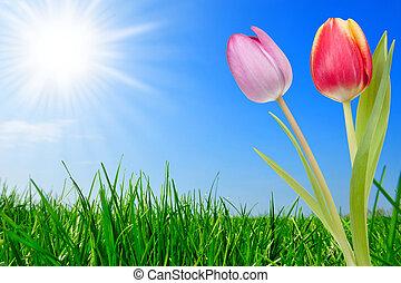 hermoso, tulipanes, pasto o césped