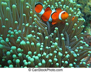 hermoso, vívido, pez, nemo, payaso, anémona verde, naranja