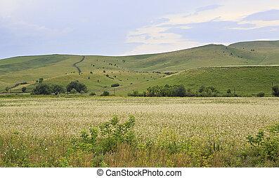 hermoso, verano, campo, de, buckwheat.