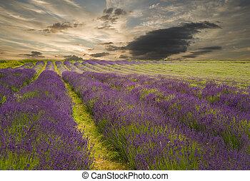 hermoso, vibrante, encima, campo lavanda, ocaso, paisaje