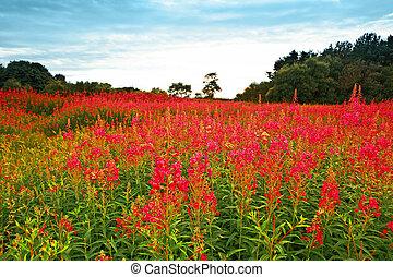 hermoso, wildflowers, pradera