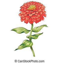 hermoso, zinnia, flor, illustration., aislado, tallo,...