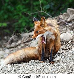 hermoso, zorro, abierto, boca, rojo