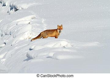 hermoso, zorro, nieve, rojo