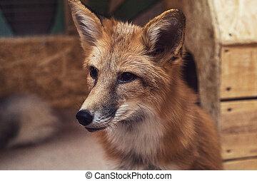 hermoso, zorro rojo