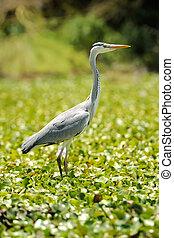 Heron (Ardea goliath) in nature