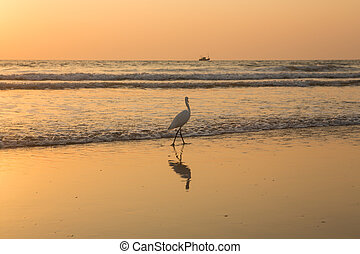 Heron at sunset collects shellfish on the beach