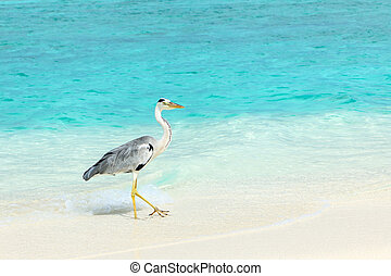 Heron at the beach on Maldivian island