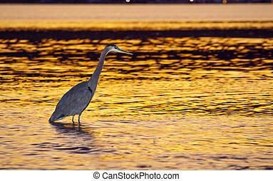 Heron Bird at Sunset in the Water