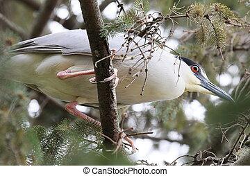 heron closeup - Heron up in a tree.