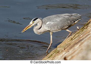 Heron eating young fish