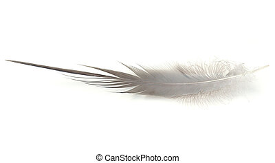 Heron Feather - Feather from Great Blue Heron (Ardea...