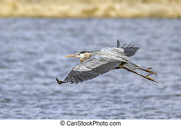 Heron flies low over the water.