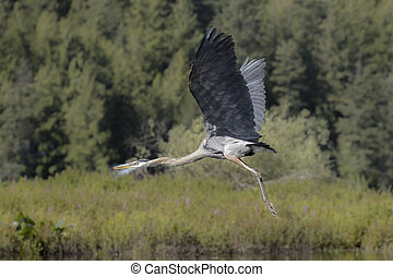 Heron flying low above the water. - A great blue heron flies...