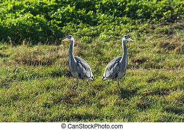 Heron, gray heron in the grass