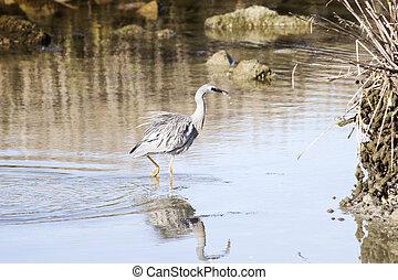 Heron hunting 03 - A heron catches a fish. Haumoana, Hawke's...