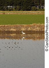 heron in a rice crop