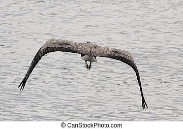 Heron in flight as seen from behind