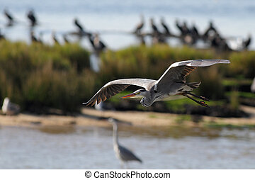 Heron in flight over Douro river, north of Portugal
