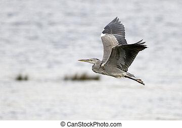 Heron in flight over river - Heron in flight over Douro...