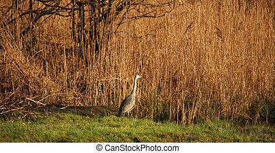 Heron in reed bed stalking prey