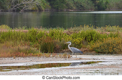 heron in the circeo national park in italy
