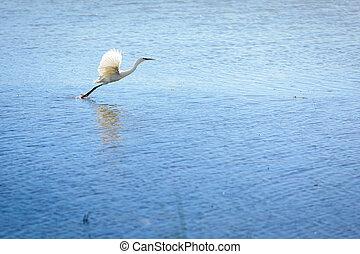 Heron is flying over the lake