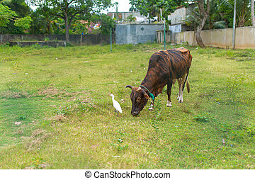 Heron is looking for food on a green lawn next to a grazing cow